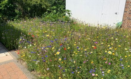 Insektenfreundlicher Garten dank Blumenwiese