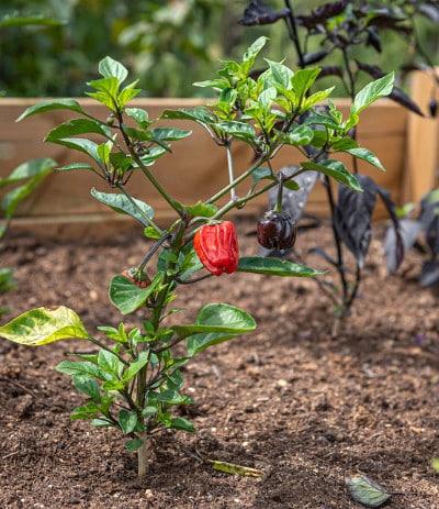 Chilli Pflanze im Hochbeet