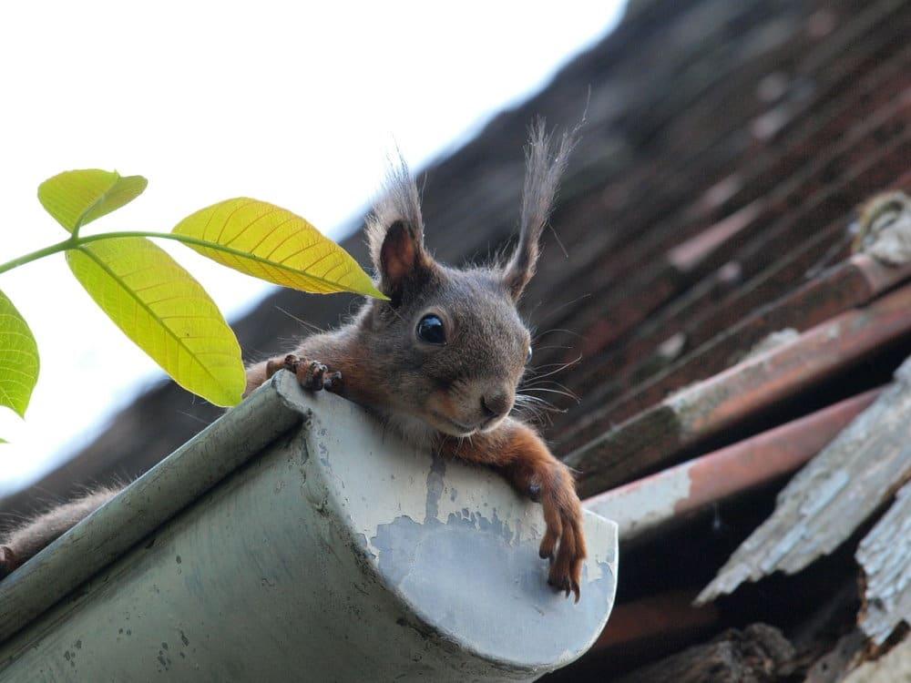 Eichhörnchen bei der Dachrinnenreinigung