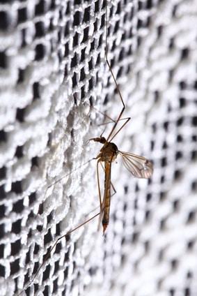 Stechmücke-am-Insektenschutzgitter